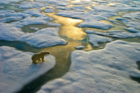 Polar bear near the Russian Arctic