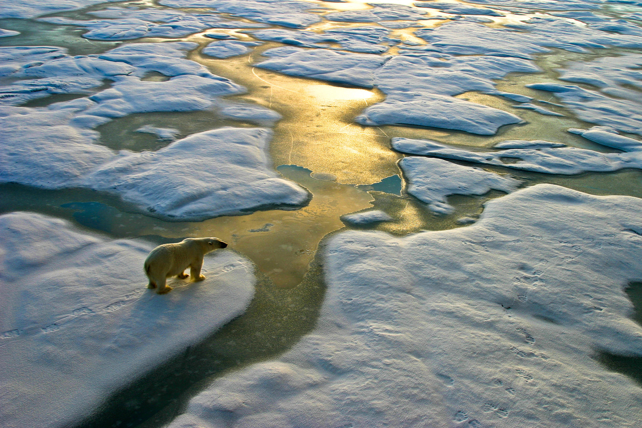Polar bear near melting ice as a symbol of climate change